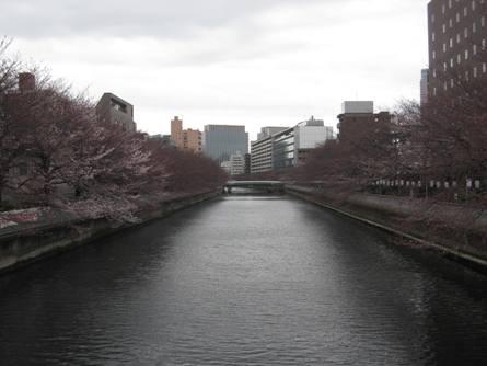 桜の開花状況